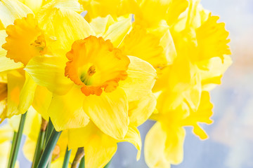 Bouquet of yellow spring daffodils backlit, closeup