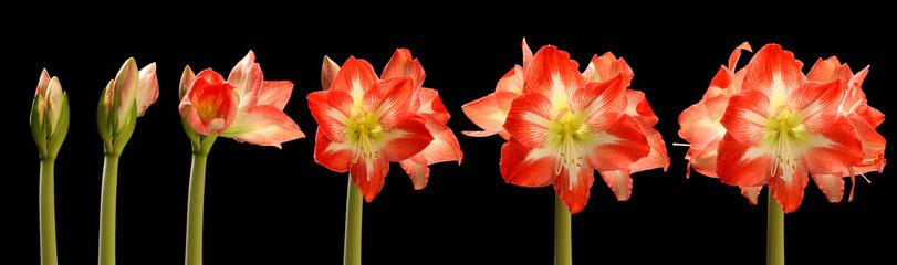 Amaryllis Flower Series Fotomurales