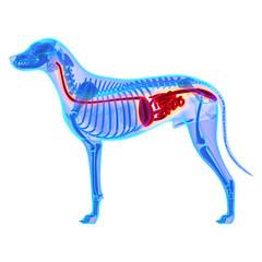 Dog Digestive System - Canis Lupus Familiaris Anatomy - isolated