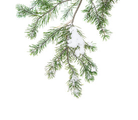 The snow-covered branch of a pine isolated on white snow