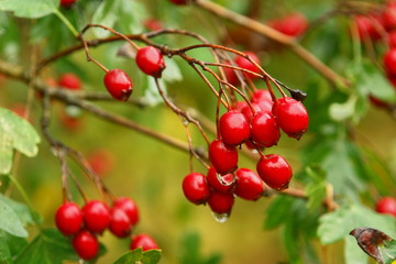 Hawthorn berries. Crataegus laevigata