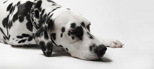 Dalmatian dog misses