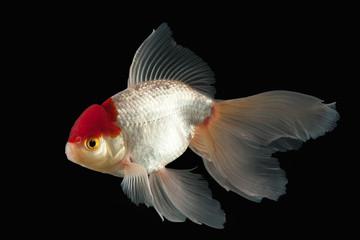 Fish. White Oranda Goldfish with red head on black background