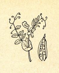 Pea plant Pisum sativum