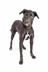 Pretty Labrador Crossbreed Dog Standing