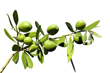 Olive branch on an isolated background