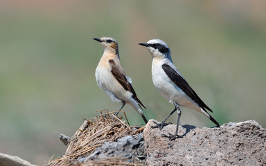 Northern Wheatear. Female and Male