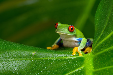 Foto auf AluDibond Frosch Red-Eyed Amazon Tree Frog