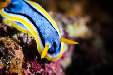 nudibranch bunaken indonesia chromodoris sp. underwater photo