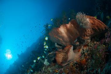 giant spone bunaken sulawesi indonesia underwater photo