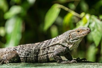 iguane - costa rica