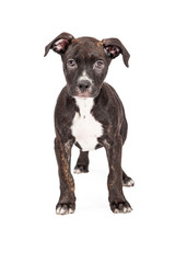 Staffordshire Bull Terrier Crossbreed Puppy Standing