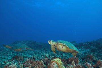 Turtles swimming at Hawaii Coral Reef