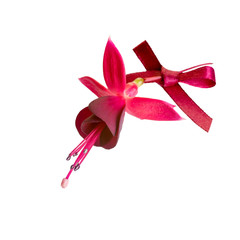 fuchsia flower with dark cherry bow isolated on white background