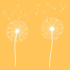 bright orange background with beautiful white delicate dandelion