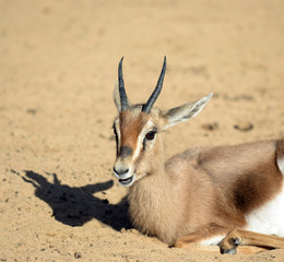 Young gazelle resting