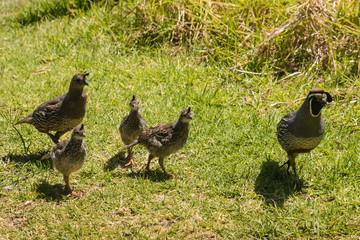 flock of california quails