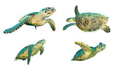 Hawksbill Sea Turtles isolated on whites