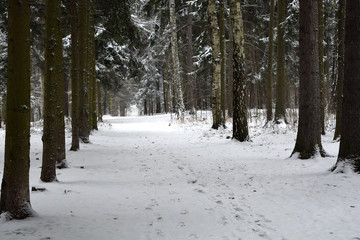 the winter path in a forest