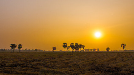 Sugar palm tree and sunset