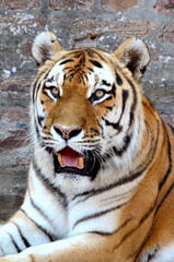 Fototapete - Tiger 3
