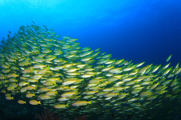 School of Bigeye Snapper fish