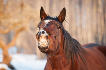 Funny bay horse smiling