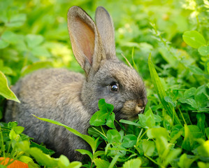 Funny baby gray rabbit on grass