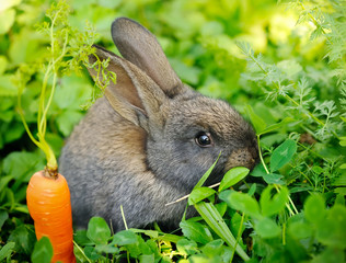 Funny baby gray rabbit with a carrot on grass