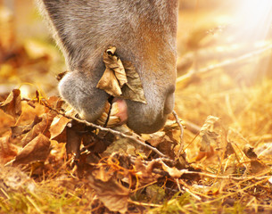 horse eats autumn leaves , toning