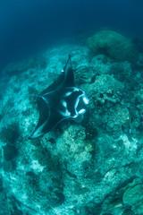 Manta Ray on Seamount