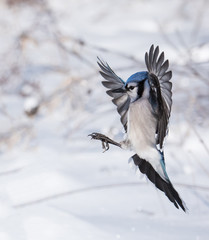 Blue Jay in Flight in Winter