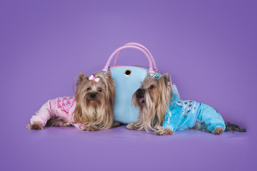 comfortable house for Yorkshire Terriers