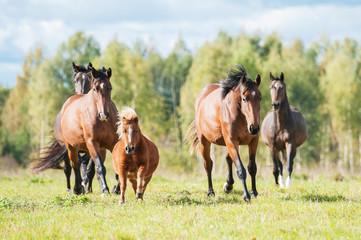 Fototapete - Herd of horses running on the pasture in summer