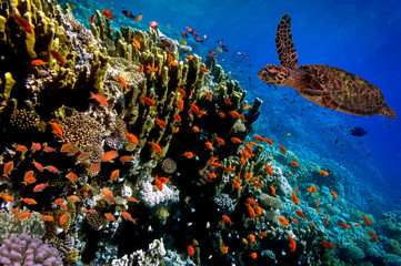 Aluminium Prints Under water Green Sea Turtle swimming along tropical coral reef