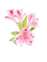 Peruvian lilies (Astroemeria) on white background