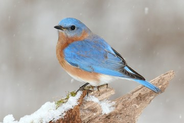 Fotoväggar - Male Eastern Bluebird in Snow
