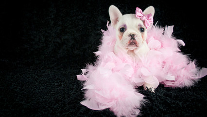 Fototapete - Made - up French Bulldog Puppy
