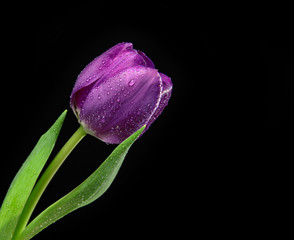 Dark Purple Tulip flower with water drops on a black background