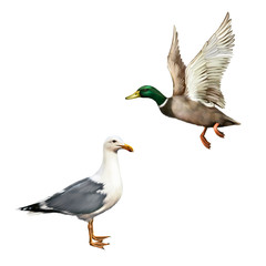 Male Mallard Duck Flying, white bird seagull isolated on white