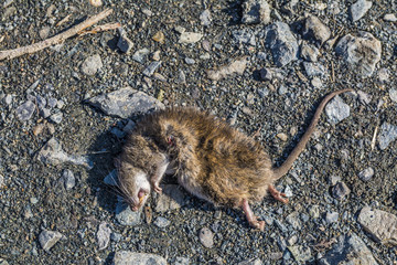 Dead rat laying in the dust