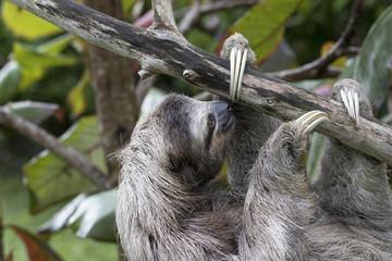 Dreifingerfaultier im Regenwald von Costa Rica