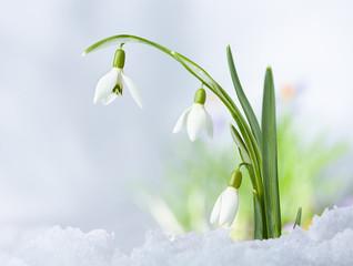 Beautifull Spring snowdrop flowers