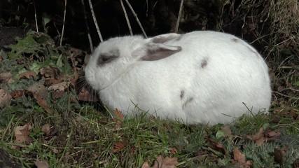 Wall Mural - Kaninchen liegt und läuft davon