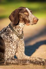Portrait of german pointer dog