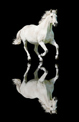 White horse running on black background with reflection