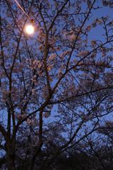 벚꽃과 야경