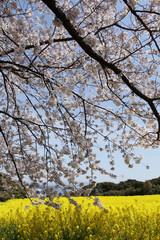 유채꽃이 있는 봄풍경