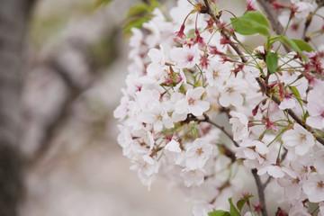 봄의 개화