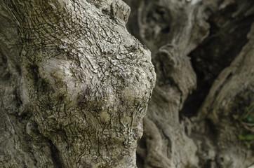 Olive tree, bark background texture pattern.